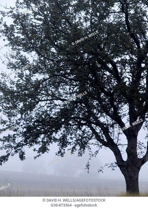 Oak tree in fog in Paso Robles, California, United States America