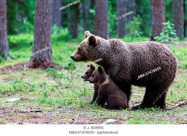 Brown bear, Usus arctos, mother with two cubs