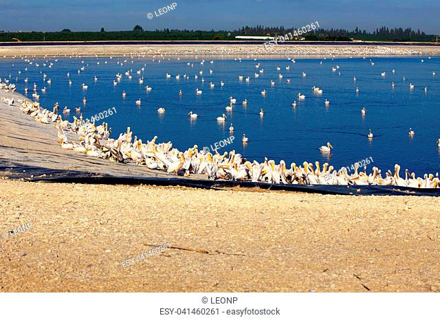 Gigantic flock of Great White Pelicans sits at the water's edge