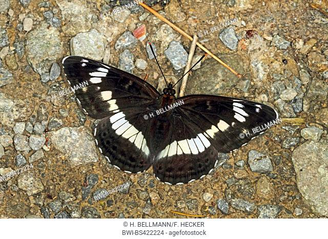 Eurasian White Admiral, White Admiral (Ladoga camilla, Limenitis camilla), on stony ground, view from above, Germany