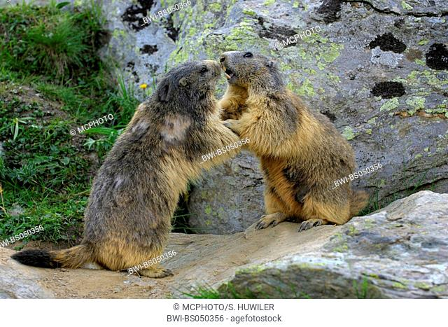 alpine marmot (Marmota marmota), quarreling, Switzerland