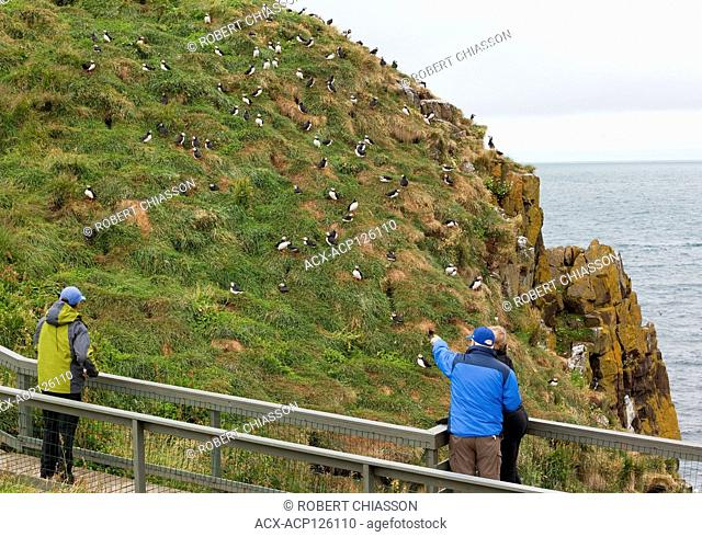 Built walkway allowing visitors to see Atlantic puffins in their natural environment from a very close distance, Hafnarholmi, Iceland