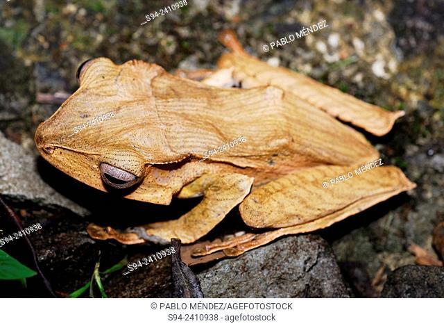 File-eared Tree Frog (Polypedates otilophus) in Kubah national park, Sarawak, Malaysia, Borneo