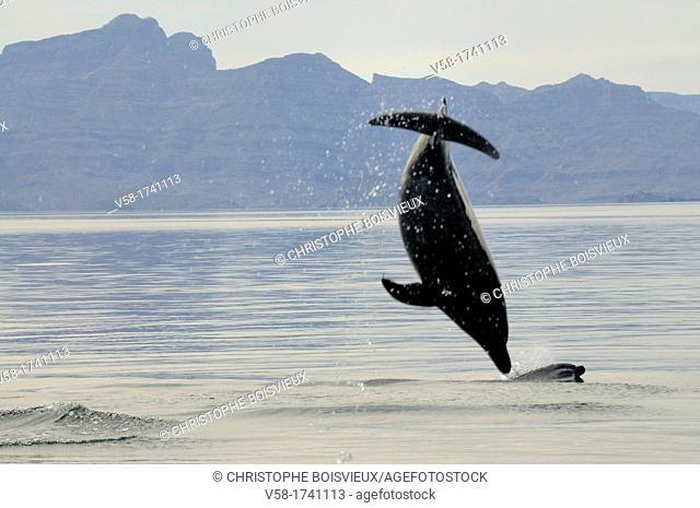 Mexico, Baja California, Bottlenose dolphins Tursiops and Sierra La Giganta