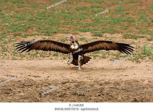 hooded vulture Necrosyrtes monachus, landing, South Africa, Kruger NP, Okt 04