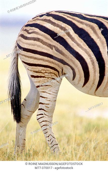 Burchell's Zebra (Equus burchelli). Etosha National Park. Namibia