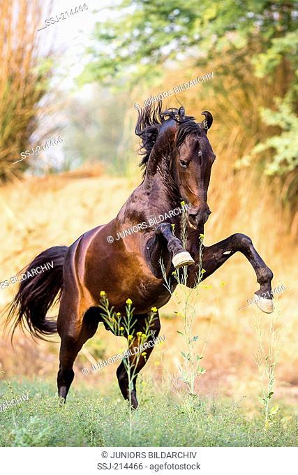 Marwari Horse. Bay stallion rearing on a meadow. Rajasthan, India