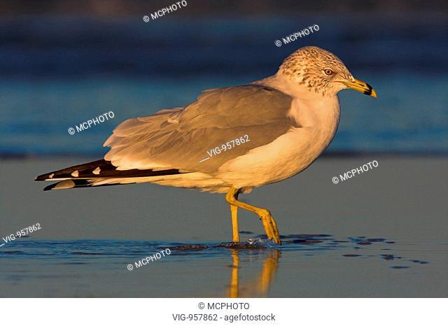 Tier; Tiere; Vogel; Voegel; Moewen; Ringschnabelmöwe; Ring-billed Gull; Larus delawarensis; Goéland à bec cerclé; Gaviota de Delaware; animal; animals; bird;...