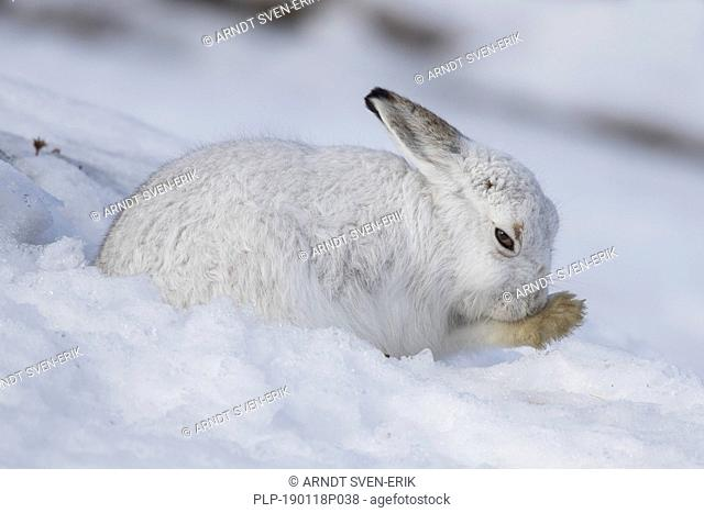 Mountain hare / Alpine hare / snow hare (Lepus timidus) in white winter pelage grooming fur of foreleg