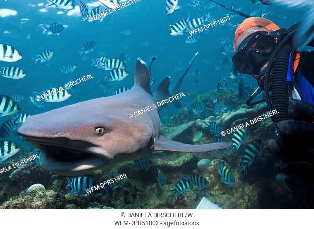 Whitetip Reef Shark at Shark Feeding, Triaenodon obesus, Beqa Lagoon, Viti Levu, Fiji