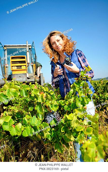 cheerful young woman harvesting grapes in vineyard during wine harvest season autumn-