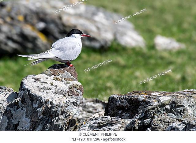 Arctic tern (Sterna paradisaea) perched on rock in spring / summer, Shetland Islands, Scotland, UK