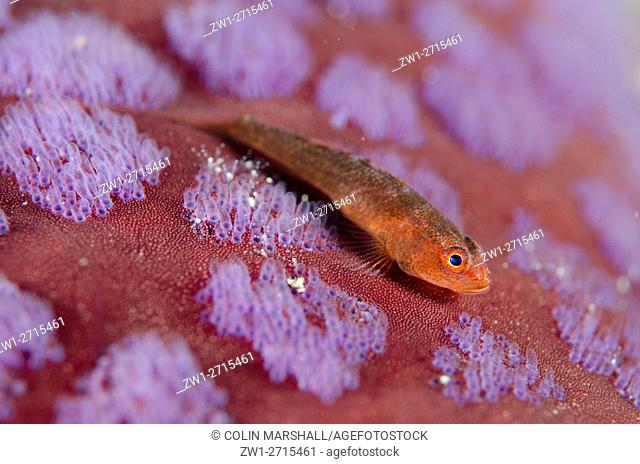 Common Ghost Goby (Pleurosicya mossambica) with Sea Star papillae, Laha dive site, Ambon, Molluccas, Banda Sea, Indonesia