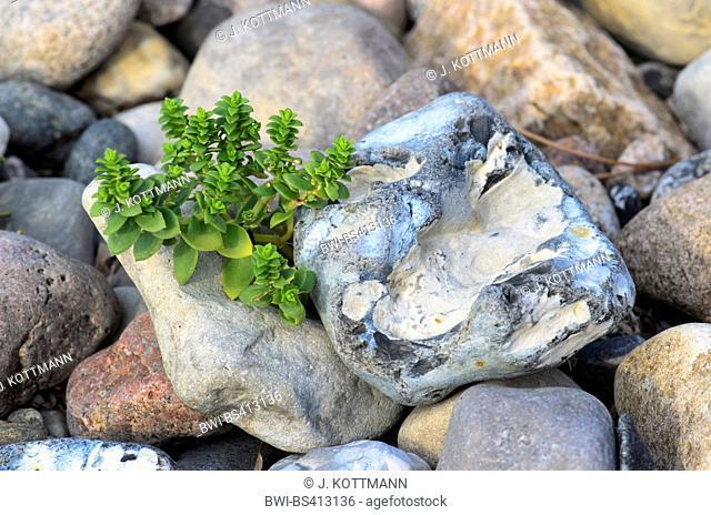 sea sandwort, sea chickweed (Honckenya peploides), between pebbles, Denmark