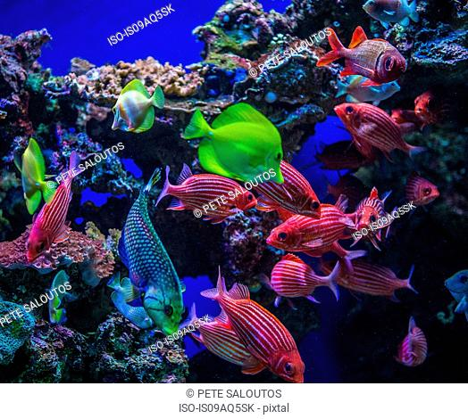Underwater view of colorful tropical fish, Maui, Hawaii