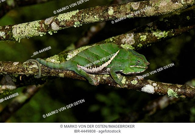 Two-banded chameleon (Furcifer balteatus), male, Ranomafana National Park, Madagascar
