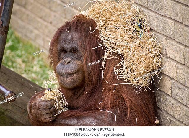 Bornean Orang-utan Pongo pygmaeus adult female, with bedding on shoulders, Blackpool Zoo