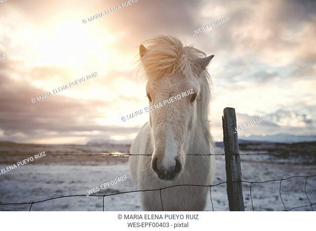 Iceland, Icelandic horse at sunset