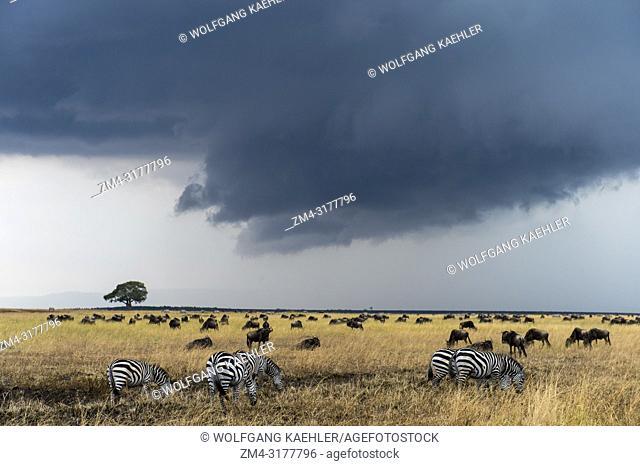 Wildebeests, also called gnus or wildebai, and Plains zebra (Equus quagga, formerly Equus burchellii) also known as the common zebra or Burchells zebras feeding...