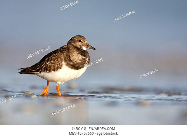 Ruddy Turnstone - Ground level perspective of bird wading in surf (Arenaria interpres)
