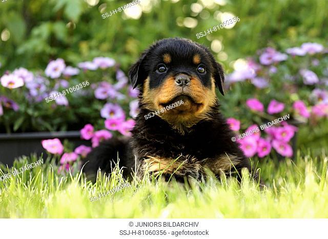 Rottweiler. Puppy (6 weeks old) sitting in a flowering garden. Germany