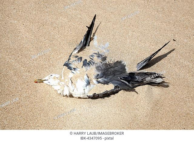 Dead seagull lying in the sand, Fuerteventura, Canary Islands, Spain