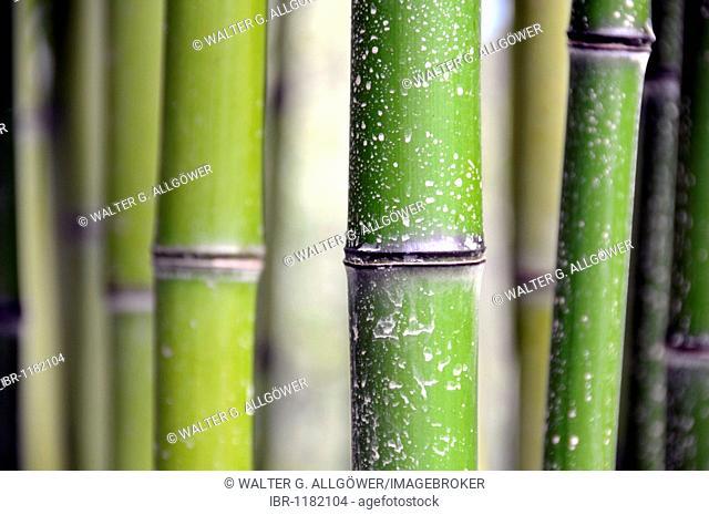 Grass bamboo (Phyllostachys viridi-glaucescens), China, Asia
