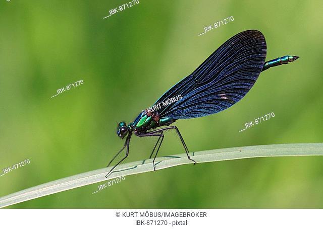 Male Beautiful Demoiselle (Calopteryx virgo)