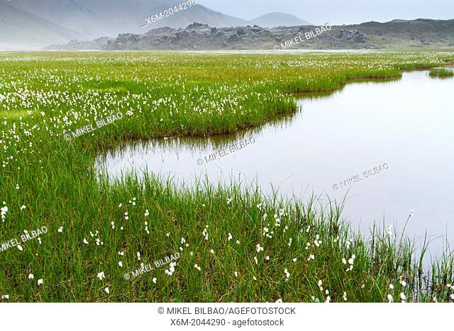 Common cottongrass (Eriophorum angustifolium) in wetlands. Landmannalaugar region. Highlands. Iceland, Europe