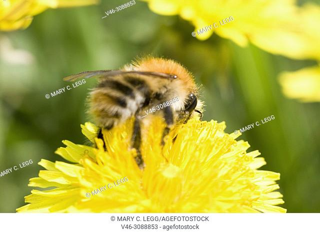 Shetland Bumblebee, Bombus muscorum, Large Carder Bee