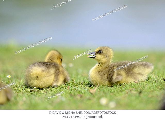 Close-up of two Greylag Goose (Anser anser) chicks in a meadow in spring