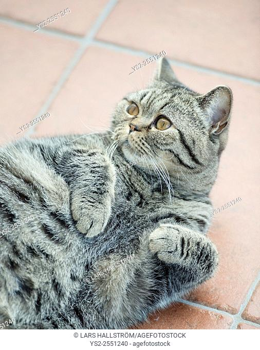 British shorthair cat lying down on its back looking up