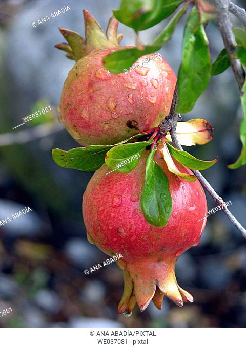 Pomegranates on tree