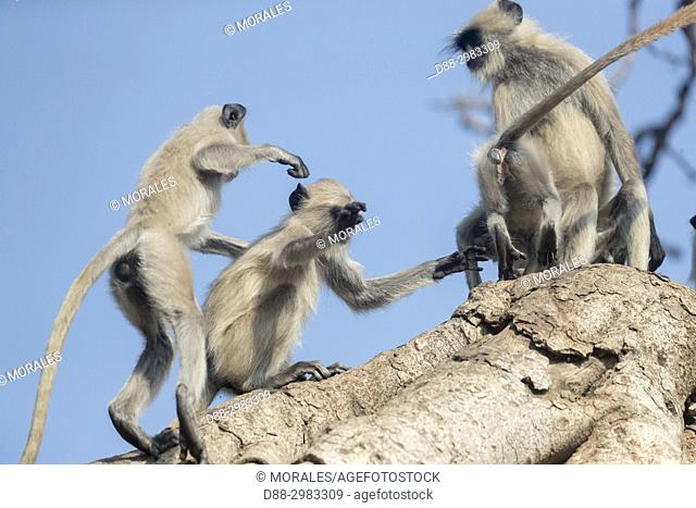Asia, India, Rajasthan, Ranthambore National Park, Northern plains gray langur or Hanuman Langur (Semnopithecus entellus), play in a Banyan Tree