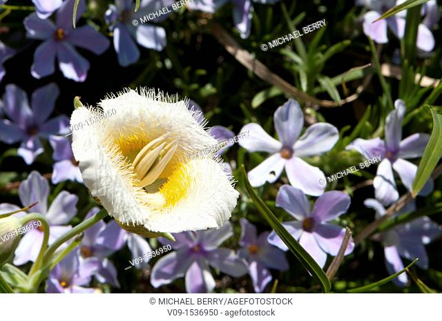 Subalpine mariposa lily (Calochortus subalpinus). Oregon. USA