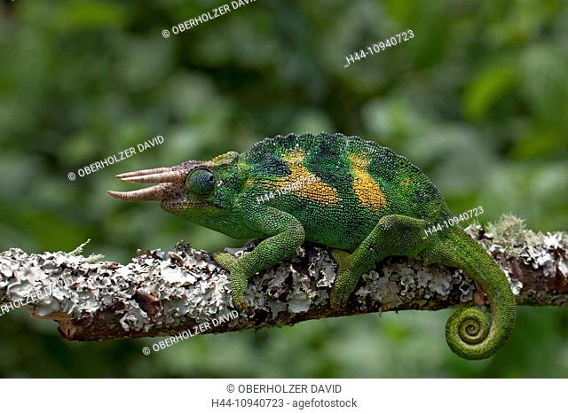 Africa, Uganda, East Africa, black continent, pearl of Africa, Great Rift, chameleon, animal, wild animal, wilderness, nature, color-cycling, reptiles