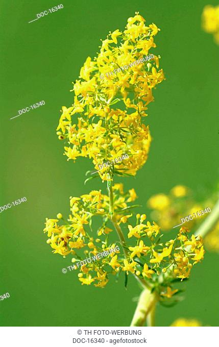 Golden Rod - medicinal plant - herb - KrŠuter - medicinal use - Solidago virgaurea - Solidago canadensis - Solidago