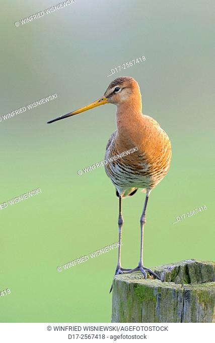 Black-tailed godwit (Limosa limosa) perched on a fence post. The Netherlands