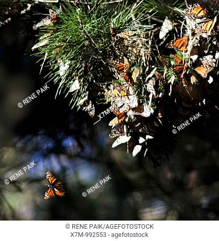 Migrating Monarch butterflies Danaus plexippus on milkweed in Pacific Grove, California  The monarchs migrate from the Canadian rockies through California to...