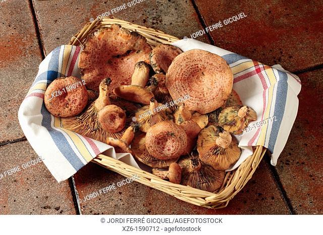 Basket full of Saffron milk cap, Red pine mushroom, pinetell, níscalo Lactarius deliciosus , Catalonia, Spain, Europe