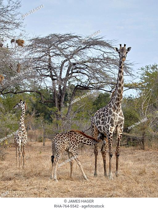 Masai giraffe (Giraffa camelopardalis tippelskirchi) nursing, Selous Game Reserve, Tanzania, East Africa, Africa