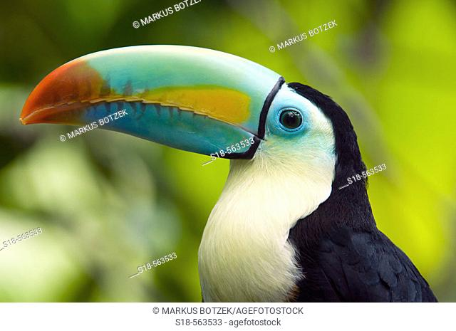 This Toucan lives naturally in rainforests from Mexico to Ecuador and Columbia
