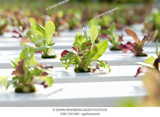 Greenhouse of Hydroponic Lettuce seedlings