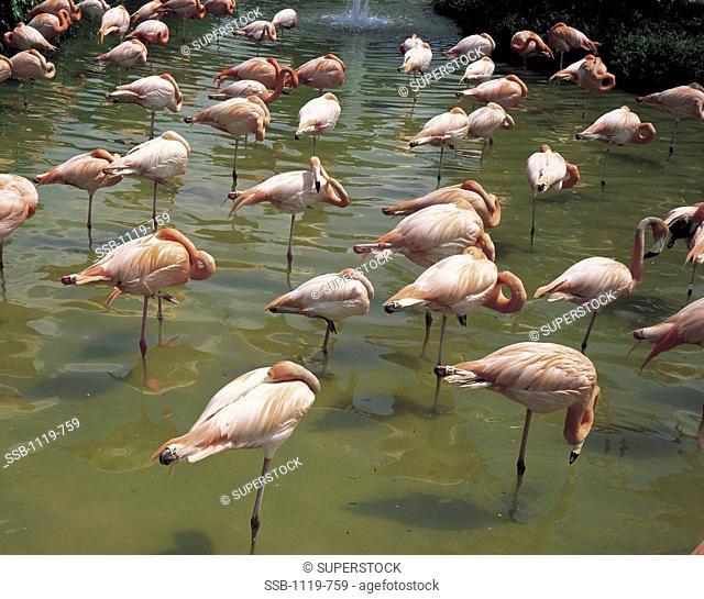 Flamingos Everglades National Park Florida USA