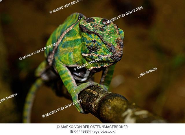 Two-banded chameleon (Furcifer balteatus), female, Ranomafana National Park, Madagascar