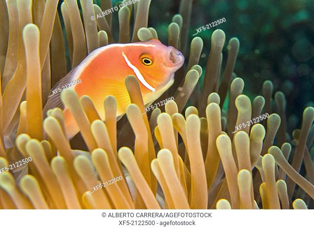 Pink Anemonefish, Amphiprion perideraion, Magnificent Sea anemone, Ritteri anemone, Heteractis magnifica, Lembeh, North Sulawesi, Indonesia, Asia