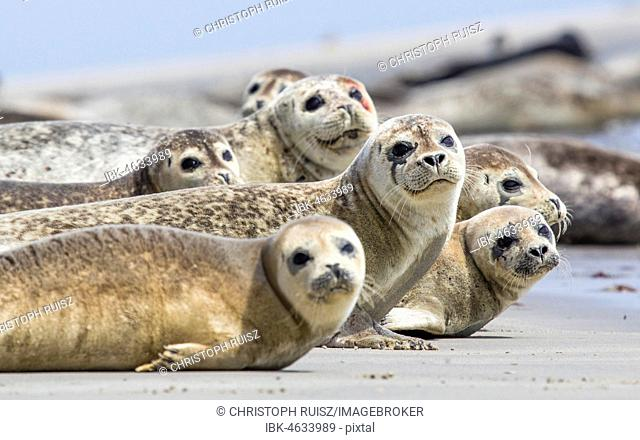 Harbor seals (Phoca vitulina) lying on the beach, Düne Island, Heligoland, Germany