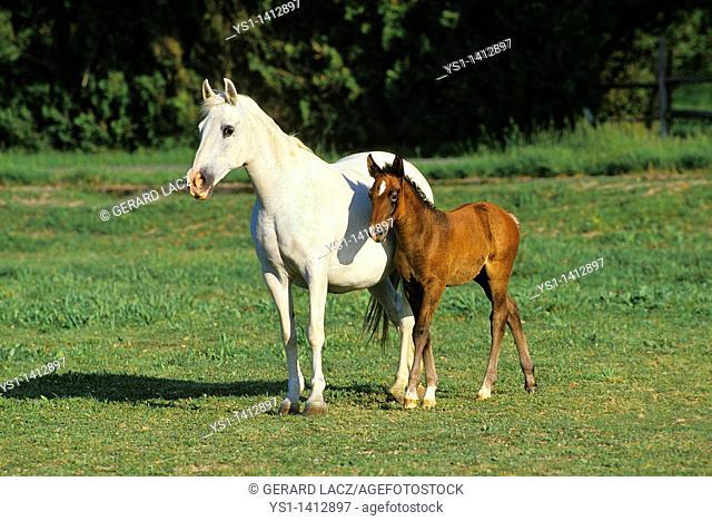 LIPIZZAN HORSE, MARE WITH FOAL IN MEADOW