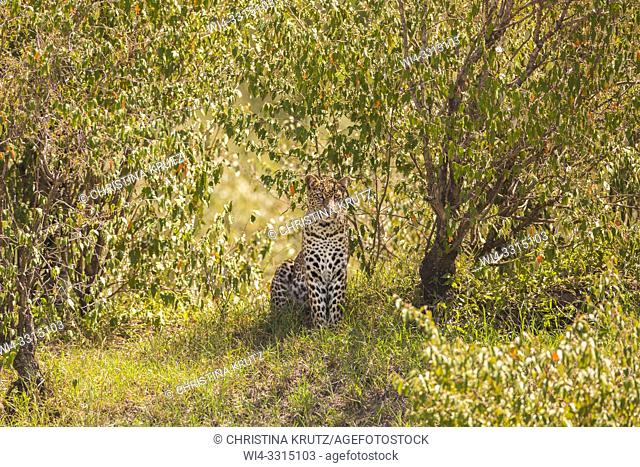 Leopard (Panthera pardus), well camouflaged in the bushes, Masai Mara National Reserve, Kenya, Africa