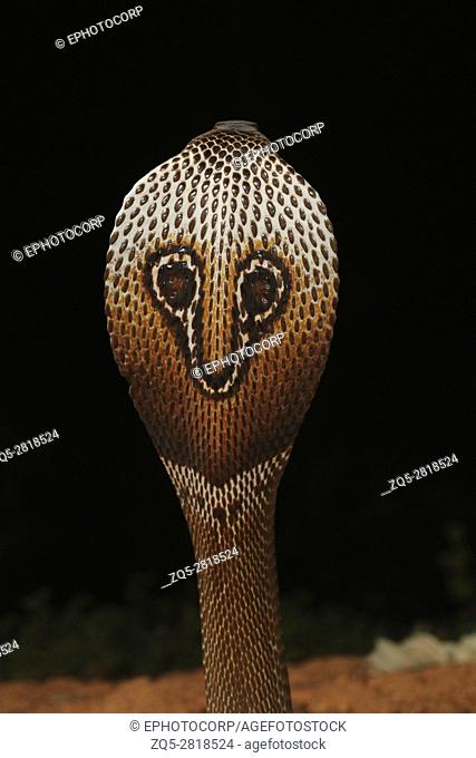 Spectacled cobra, Naja naja, Bangalore, Karnataka. TheIndian cobrais one thebig four venomousspecies that inflict the mostsnakebiteson humans in India